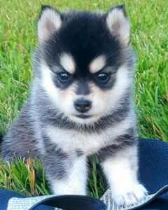 mini pomsky full grown