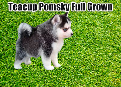 teacup pomsky full grown